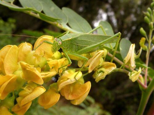 Papageienschnabel Sesbania Aculeata GELBE essbare Blüte, 20 Samen, 20 seeds