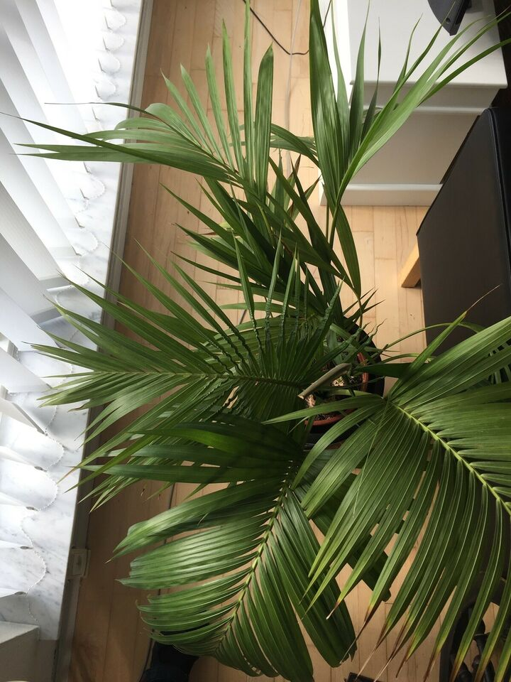 Stor plante - palme, Kentia