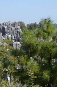 60-Samen-Pinus-yunnanensis