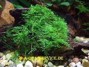 ANGEBOT-Javamoos-Vesicularia-dubyana-Portion-100-ml-EIGENE-ZUCHT