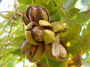 Carya illinoinensis Rare HARVEST 5pcs Tropical Plant US HOME Pecan Nut Trees