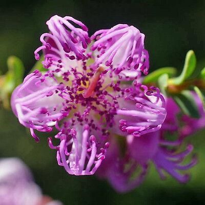 MELALEUCA pulchella Pink Claw Flower Seeds (N 160) | eBay