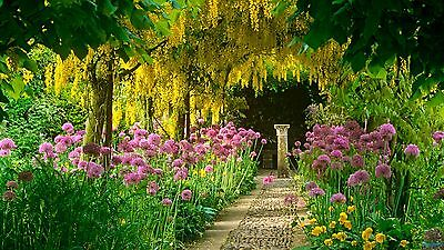 Laburnum - Laburnum Anagyroides - 15 Seeds - Golden flowers in May/June