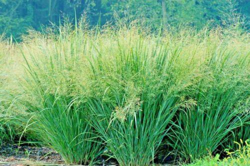 1//2LB SWITCHGRASS Seed Native Prairie Grass Clumping Prairie Green Fence Pasture