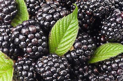 (50) Black Mulberry Tree Seeds - Morus nigra - Combined S&H
