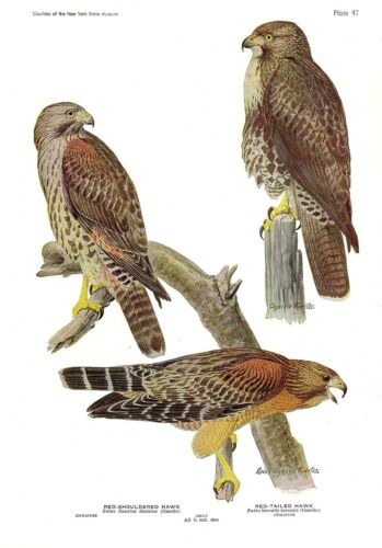 """1936 Vintage FUERTES BIRDS #47 /""""RED-TAILED HAWK /& MORE/"""" Color Plate Lithograph"""