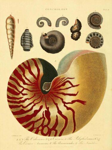 SCIENTIFIC PLATE CONCHOLOGY SHELL SEA 30X40 CMS FINE ART PRINT ART POSTER BB9411