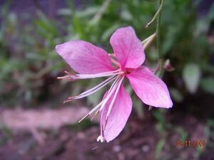 100-PINK-GAURA-WHIRLING-BUTTERFLIES-Gaura-Biennis-Flower-Seeds-Gift