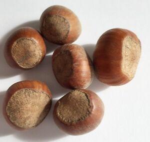 frühblüher 5 semi NOCCIOLA-Strauch Corylus avellana siepe bastarde Hasel