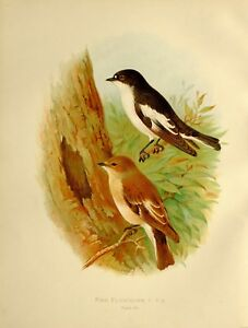 1907 Antico Uccello Stampa ~ Pied Flycatcher
