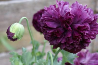 * PURPLE POPPY DOUBLES * Flower Seeds * Brilliant Display! *