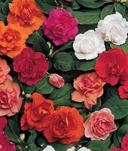 25-Impatiens-Seeds-Double-Mix-Flower-Seeds