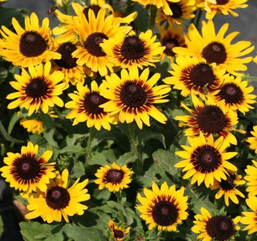 gift 100 Seeds Denver Rudbeckia Hirta Black Eyed Susan Seeds from my garden