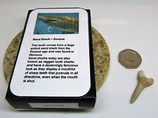 Real fossil sand shark tooth & gift box & information card - dinosaur & nature