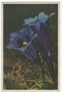 POSTCARD FLOWERS Gentiana Clusli
