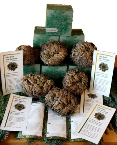 6 x Rose of Jericho in Gift Box 90 G Size XXL PLUS FLYER