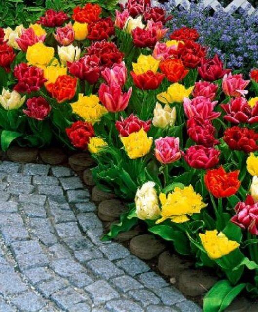 10 TULIPS DOUBLE MIXED GARDENING BULB BEAUTIFUL SPRING SUMMER FLOWER PERENNIAL