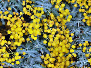 100 seeds of Golden Mimosa acacia baileyana shrub tree ...