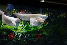 "16""-17"" SILVER AROWANA  QUALITY TROPICAL  FISH  HEALTHY GUARANTEE MONSTER FISH"