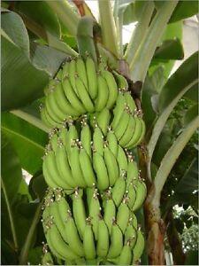 Musa itinerans 5 seeds 5 Samen Burmese Blue frosthart tolle Früchte