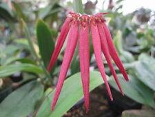 Bulbophyllum A-doribil Lava Flow 'Eruption' AM/AOS - Hybrid - BS Div