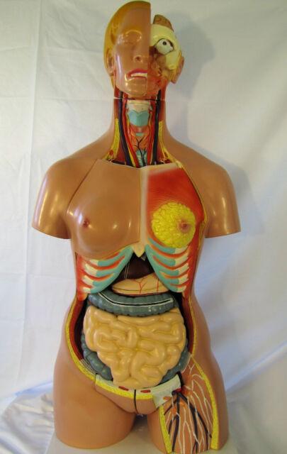 26 Parts Human Upper Body Torso Medical Anatomical Anatomy Model ...