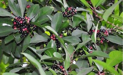 NEW.15 seeds Ardisia sanguinolenta Blume rare wild fruit Thai herbs มะจ้ำ