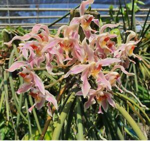 Paraphalaenopsis-Kalopaking-Fragrant-Some-in-spike