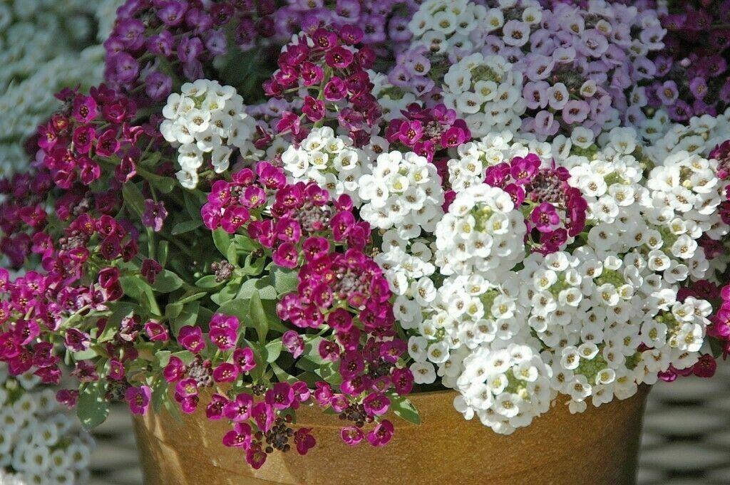 Seeds Sweet Alyssum Alison Mix Flower Hanging Annual Outdoor Garden Ukraine