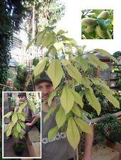"2 Pflanzen winterharte Indianerbanane Asimina triloba ""3-lappige Papau"" Bananen"