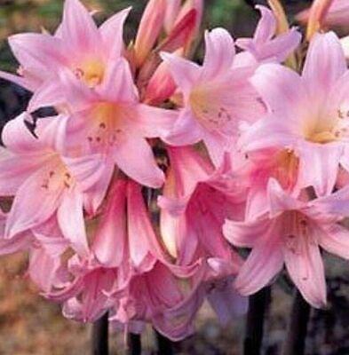 8 Amaryllis Belladonna Pink Naked Ladies Surprise Lily 8