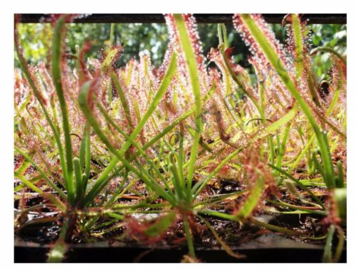 CARNIVOROUS PLANT SEED COLLECTION 10-5000 SEEDS+ HARVEST JULY 2018!