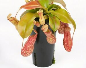 Oldworldtropicals-Nepenthes-034-St-Gaya-034-Pitcher-Plant-LIVE-Carnivorous-Exotic
