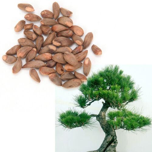 Japanischen White Pine Pinus Parviflora Grünpflanzen Baum Bonsai Samen CBL
