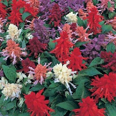 40 SIZZLER BURGUNDY SALVIA FLOWER SEEDS PERENNIAL   DROUGHT TOLERANT SAGE