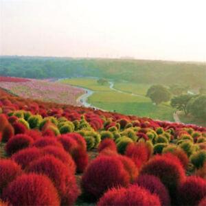 Heirloom-50pcs-Seeds-Grass-Oval-Kochia-Burning-Bush-Scoparia-Red-Flower-Garden