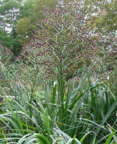 Eryngium pandanifolium Physic Violet-Géant Architectural plant in 9 cm pot
