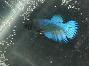 Young female aqua blue Crowntail live Betta fish USA SELLER f-15