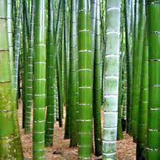 25 TORTOISE SHELL BAMBOO SEEDS  ( Ebible bamboo ) - Phyllostachys edulis