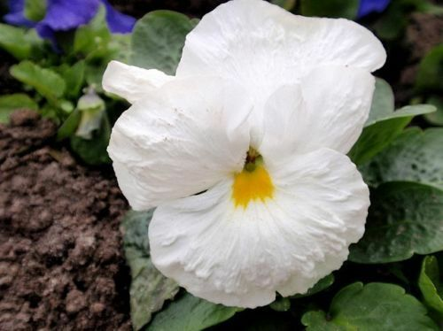 Details about  /PANSY SWISS WHITE LADY Biennial Flower 300 SEEDS Viola wittrockiana