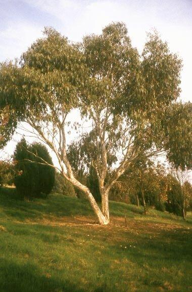 DWARF SNOW GUM (Eucalyptus gregsoniana) 50 seeds