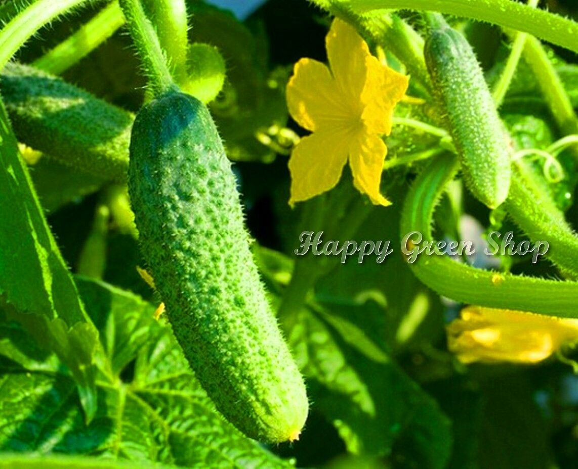 VEGETABLE - CUCUMBER GHERKIN F1 - 80 SEEDS pickler for early pickling Cornichon