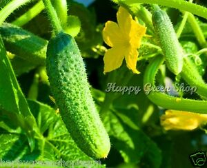 CUCUMBER-GHERKIN-F1-100-seeds-delicious-pickler-for-early-pickling-Cornichon