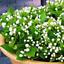Plantes-en-pots-Jasmine-Bonsai-Jasminum-sambac-fleurs-maison-jardin-U-20-Pcs-Graines miniature 1