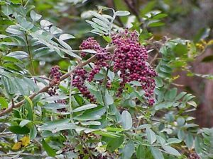 Winged-sumac-Rhus-copallinum-40-Seeds