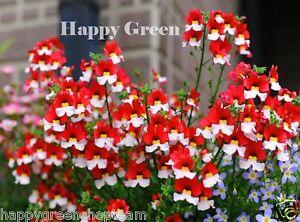 NEMESIA-DANISH-FLAG-1100-SEEDS-Nemesia-strumosa-RED-WHITE-FLOWER