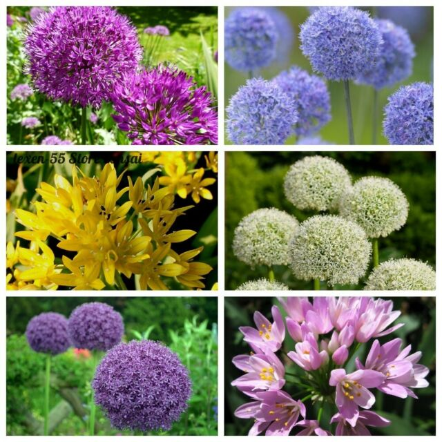 100 Allium Giganteum Flower Giant Onion Seeds Perennial Garden