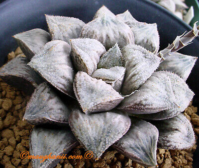 Haworthia cv /'Azarashi/' XXL grower 10 fresh seeds 2019 Succulent Set 211