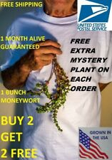 Bacopa Monnieri Moneywort Freshwater Live Aquarium Plants Bunch Buy2get1free*