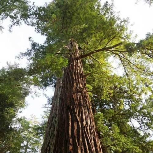 Sequoia sempervirens 20 semi-Coast//COSTIERA//CALIFORNIA Redwood
